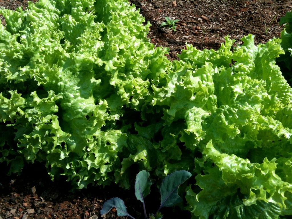 Alface Lettuce
