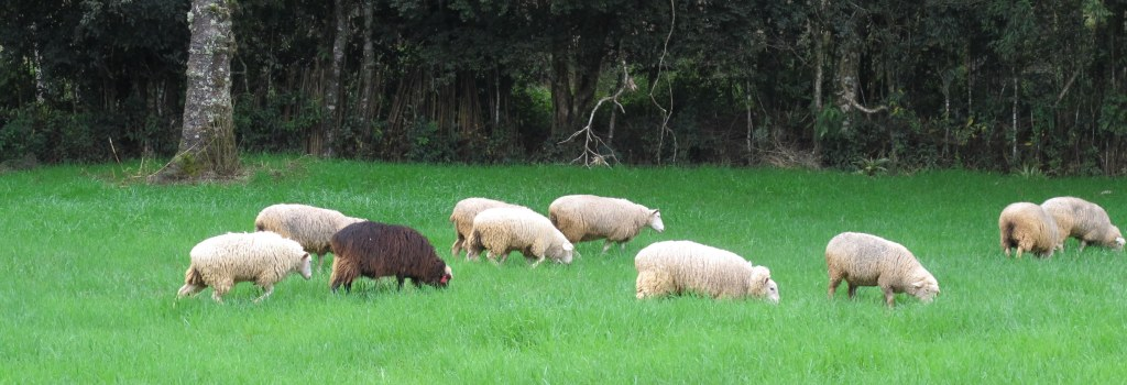 Nossas ovelhas Texel pastejando no campo de aveia. Our Texel sheep grazing in the oat field