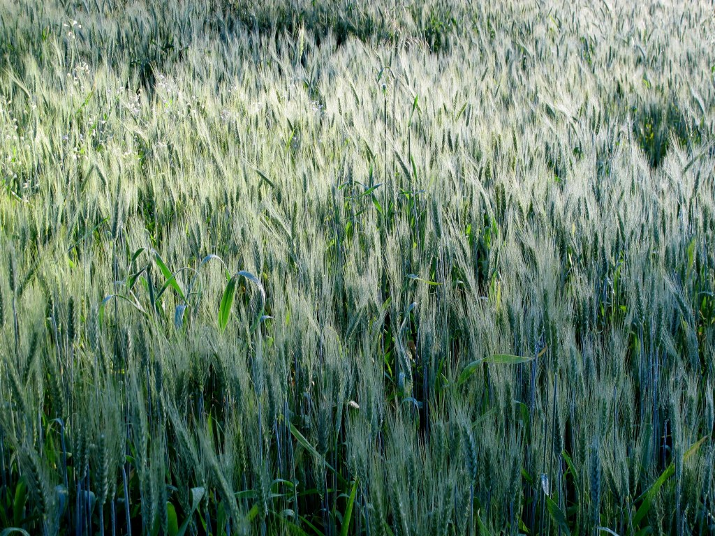 Nosso trigo crescendo Our wheat growing
