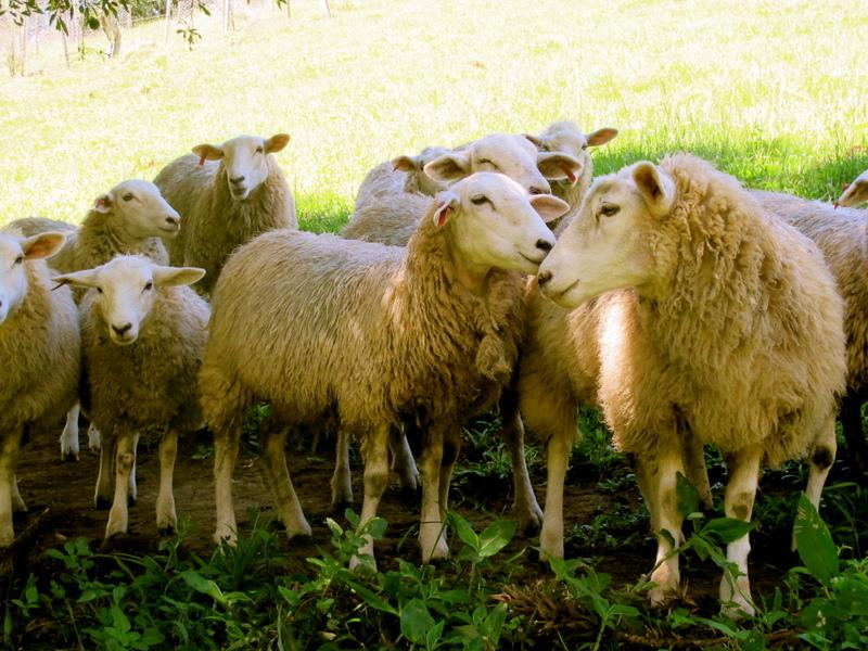 Nossas ovelhas da raça Texel / Our Texel sheep