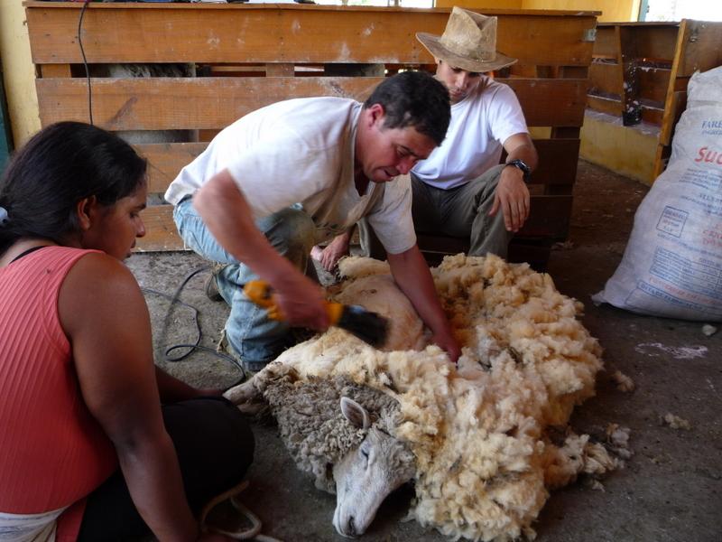 Tosquia / Shearing